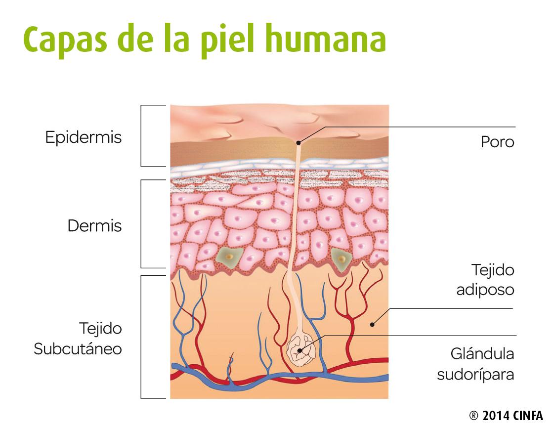Asombroso Capas De La Piel Humana Viñeta - Anatomía de Las ...